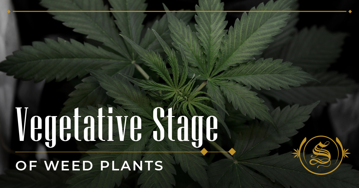 Vegetative Stage of Weed Plants